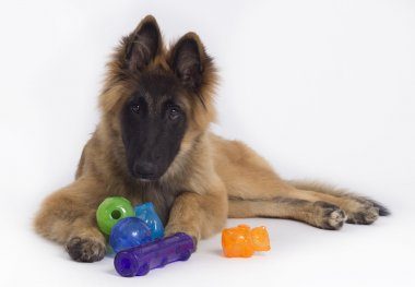 Belgian Shepherd Tervuren puppy with colored toys, isolated