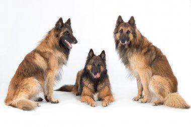 Three dogs isolated on white studio background