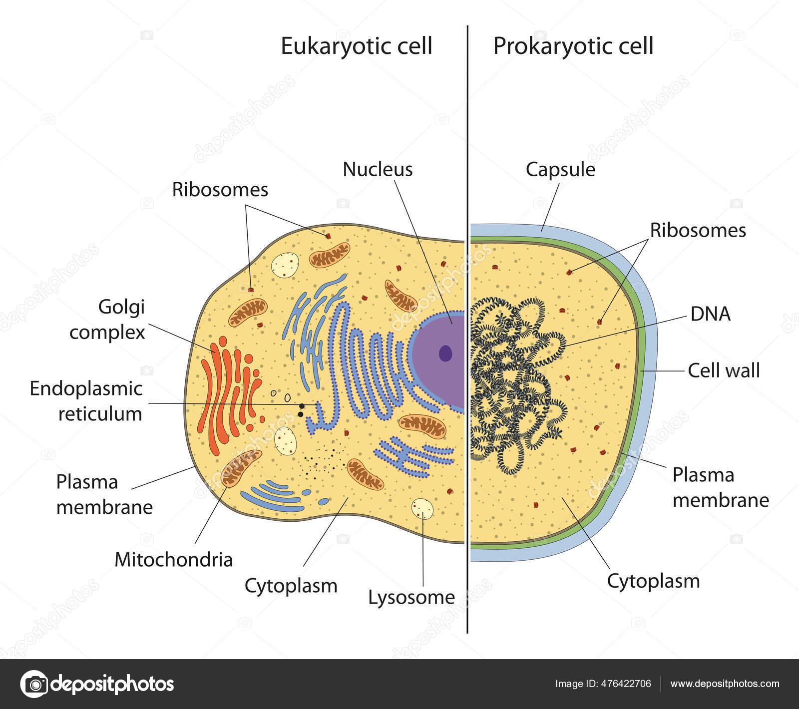 Endoplasma Difference Between