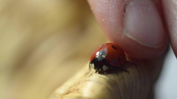 Ladybird on a Wooden Wicker Plate
