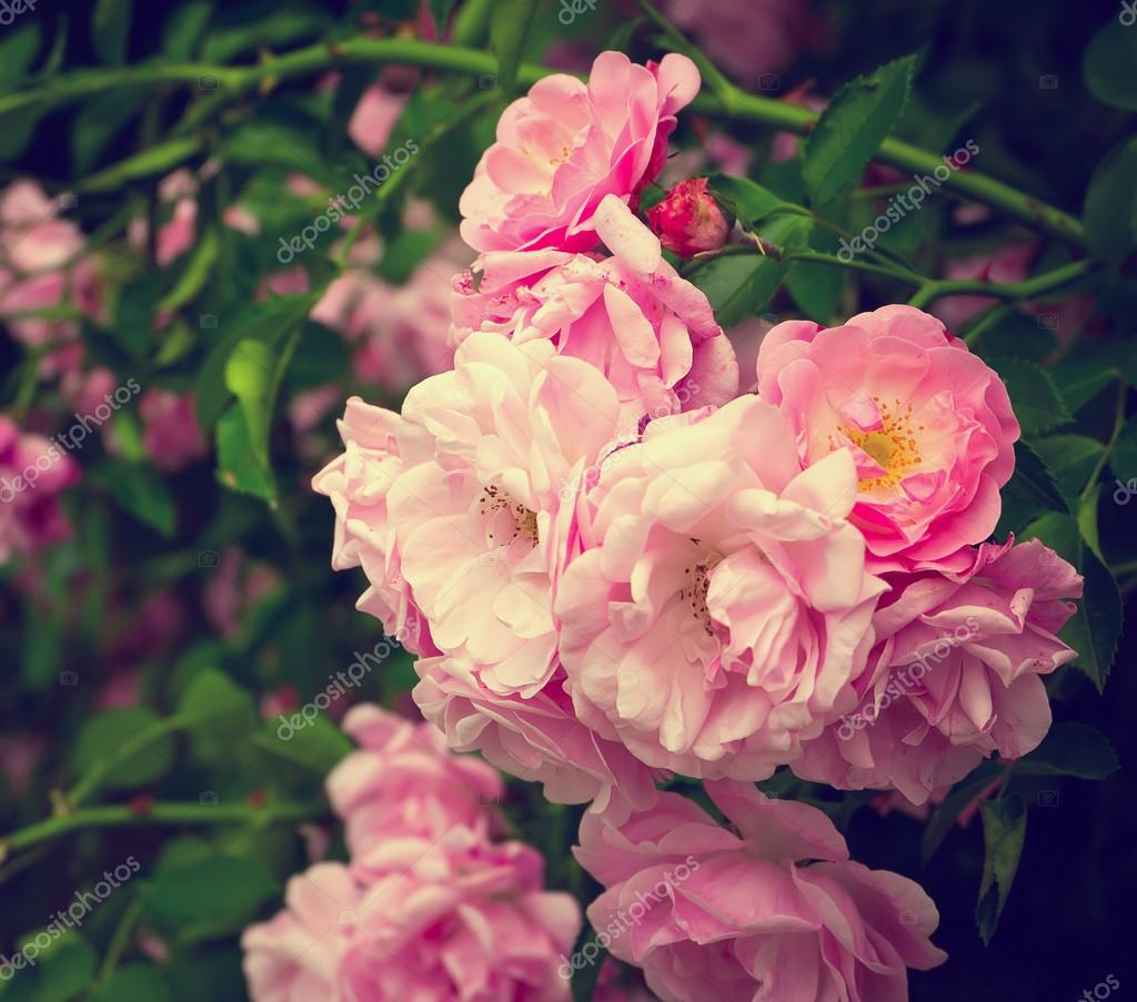 Pink Flowers On The Rose Bush In Garden Summer Time Stock Photo