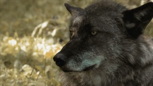 Wolf in wild life close up