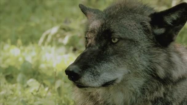 Detail černého vlka