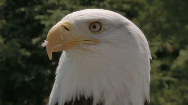 American eagle, a természetben
