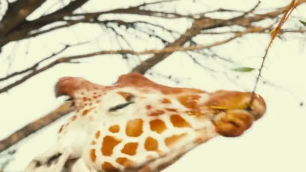 Zsiráf a vadonban