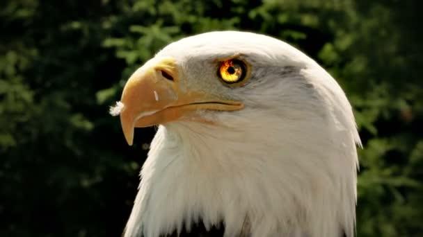 American eagle v přírodě