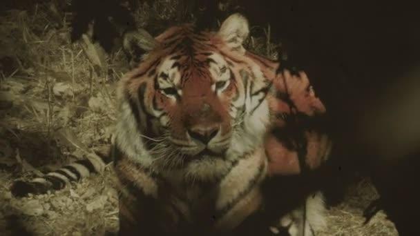 Nagy vad tigris