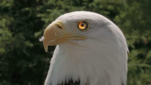 Amerikanischer Adler in der Natur