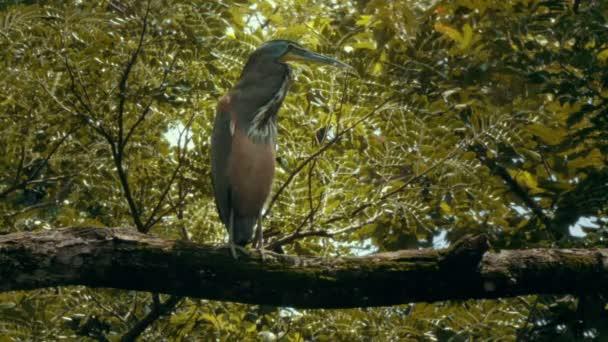 Heron di tigre nella foresta pluviale del Costa Rica