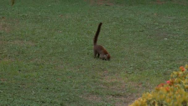 Wild Cost Rica Coati