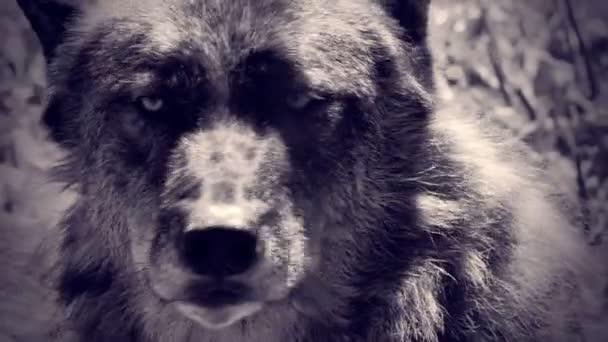 Farkas a természet közelről