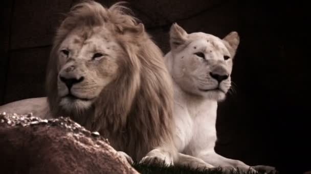 Lion and Lioness in nature