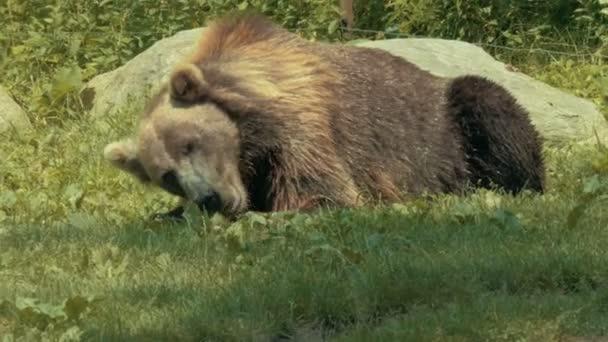 Grizzly medve táplálkozó