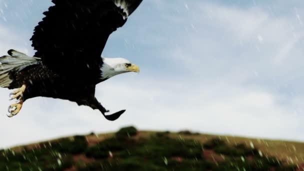 letící orel bělohlavý