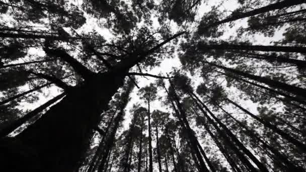 Baumwipfel bewegen - Bäume im Wind - Wald