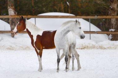 horses walking in the paddock in winter
