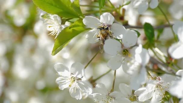Bienen bestäuben blühende Bäume Frühling Blumen Zeitlupe, dass Natur ...