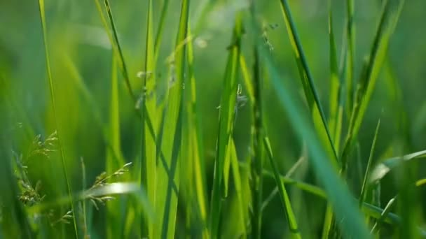 saftig grünes Gras Makro Sonne scheint durch die Blätter des Grases schönen Hintergrund Makro Frühling Sommer Landschaft schönes Sonnenlicht Tau auf dem Gras