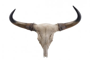 head skull of Banteng(Bos javanicus) isolated on white backgroun