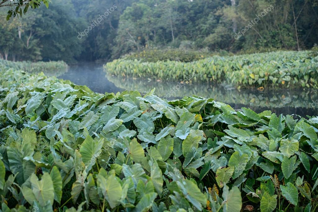 Field of Green Elephant Ear Leaves (Colocasia)