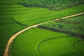 Zelené terasovité rýže s cukrové třtiny pole v regionu Guangxi