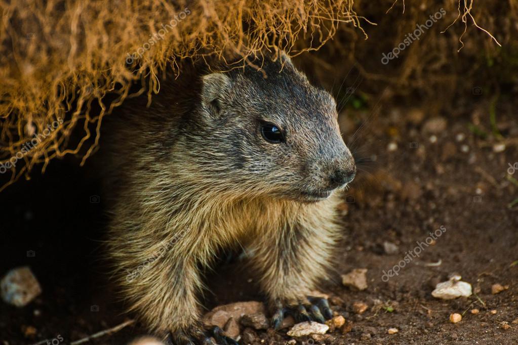 Marmot in Dolomites valley