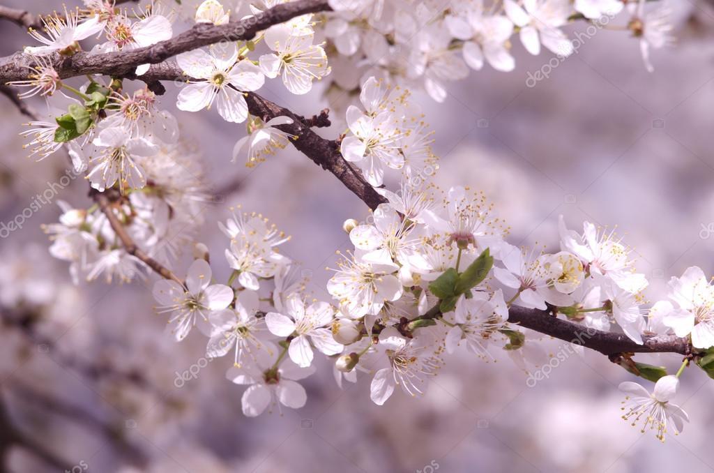 La Primavera Hermosa Flor Manzano O Cerezos Ramas. Rama De