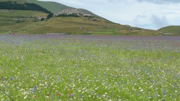 Flowering in the plain of Castelluccio, Italy