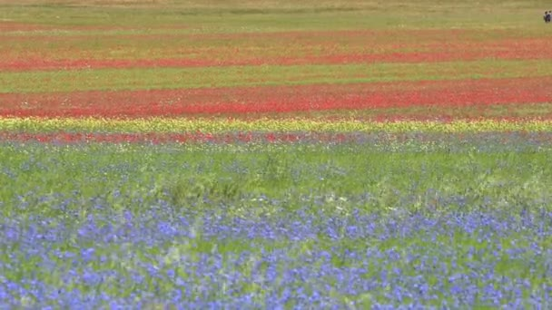 Flowering in the plain of Castelluccio, Italy