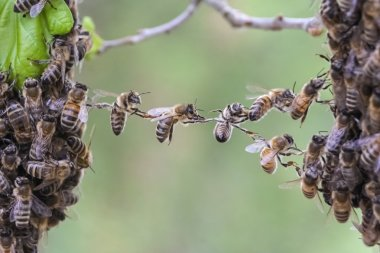 Teamwork of bees bridge a gap of bee swarm