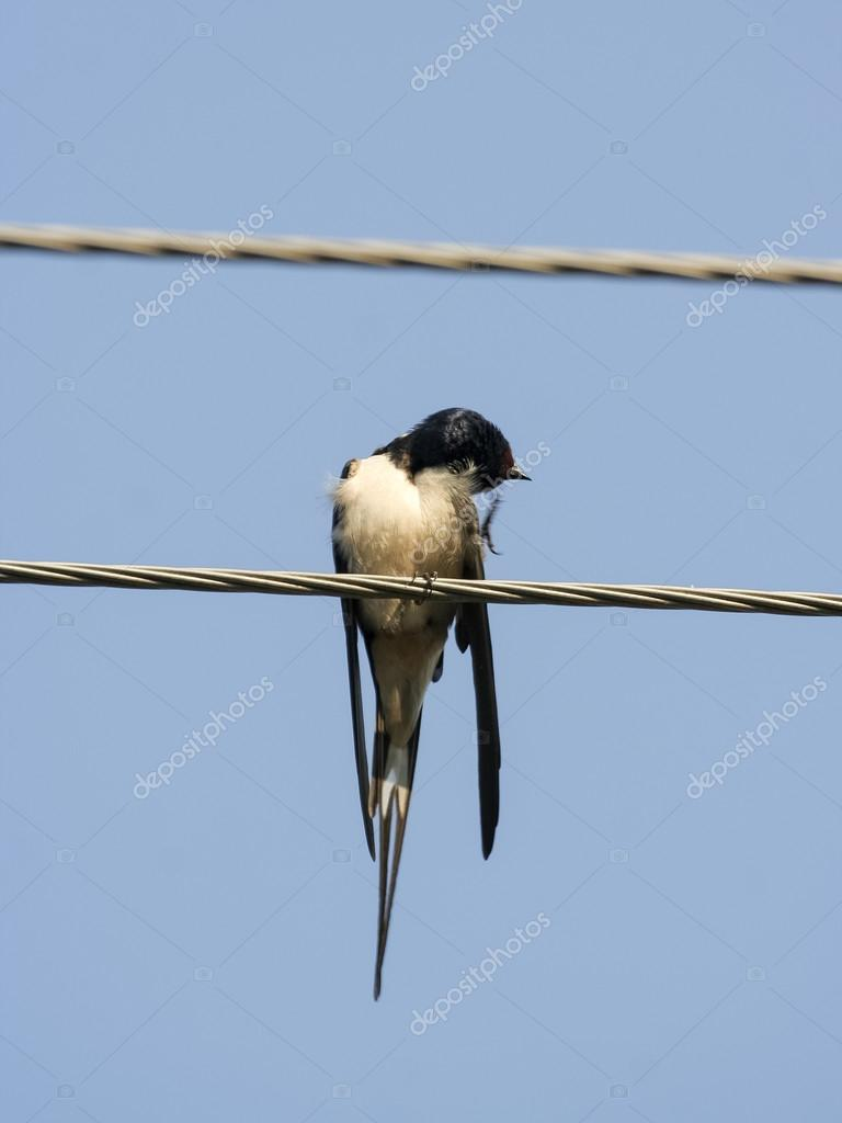 Barn swallow bird on a wire. — Stock Photo © Viesinsh #99633528
