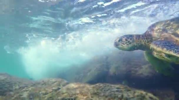 Hawaii zöld tengeri teknős