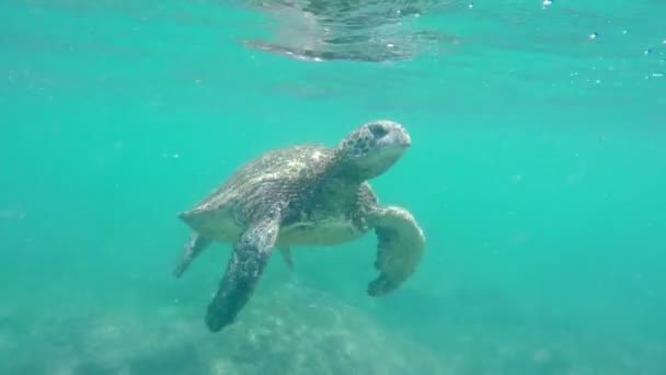 Green Sea Turtle Underwater coming up for air in the Hawaiian Islands.