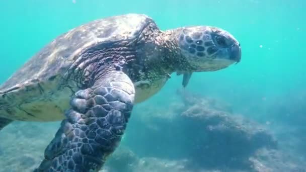 Hawaiianische Grüne Meeresschildkröte schwimmt unter Wasser.