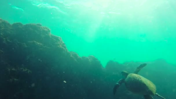 Green Sea Turtle Swimming by coral reef in Hawaii