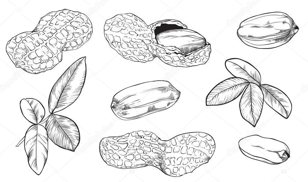 Imágenes: frutos secos para colorear | Maní de trama sobre fondo ...
