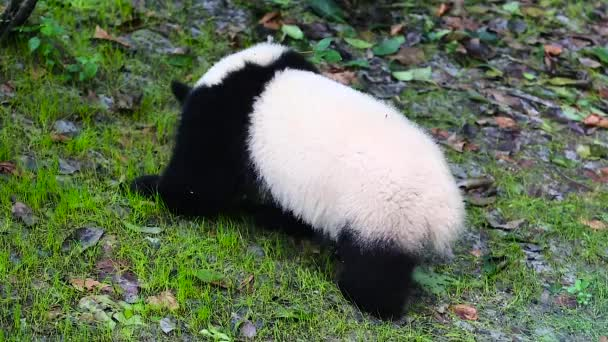 Sichuan Chengdu giant panda breeding research base in China