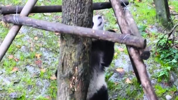 Sichuan Chengdu giant panda breeding research base in China