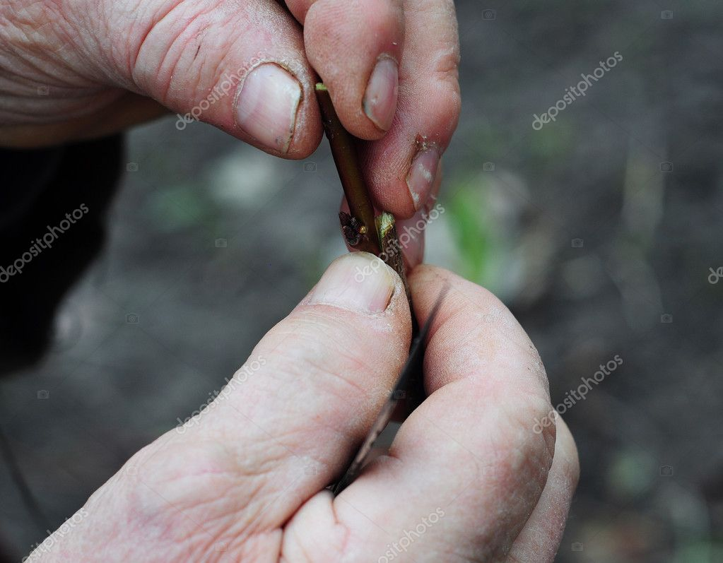 Close up on grafting tree branches. Grafting fruit trees step by  step.