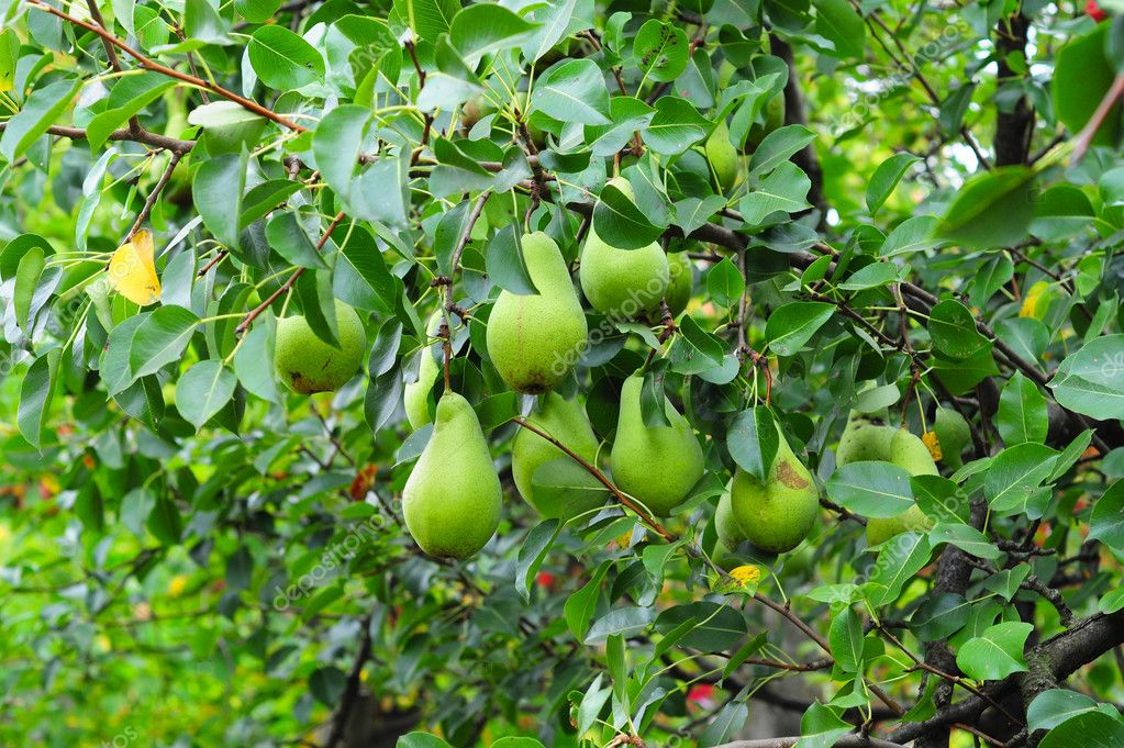 Green pears on tree branch in the garden.