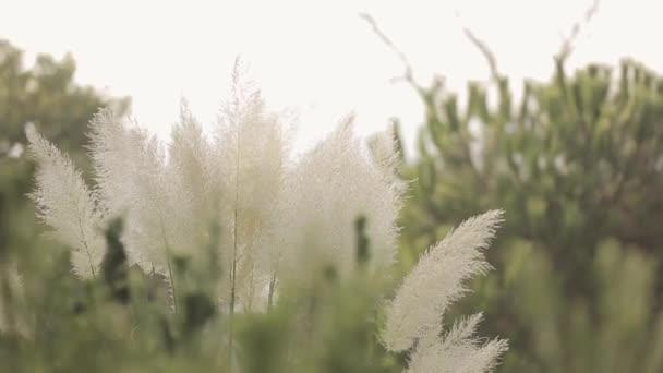 Pohled na mávání uši bílých rostlin v poli pod sluneční paprsky. Letní den. Příroda. Jižní rostliny