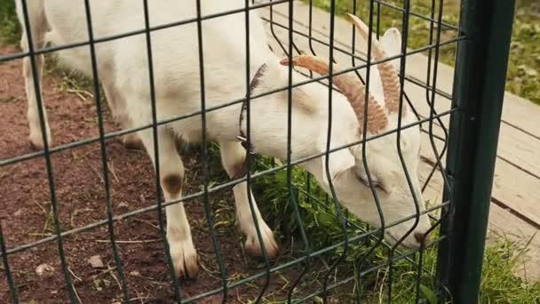 Blick auf weiße Ziegen in der Voliere hinter dem grünen Zaun. Zoo. Tiere. Sommertag