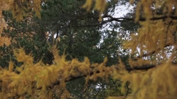 Coniferous tree with yellow leaf in autumn day. Park. Green trees. Nature.