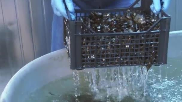 Mann in Handschuhen stellte Muscheln in Plastikbox aus riesiger Badewanne mit sauberem Wasser auf. in Behälter gelegt