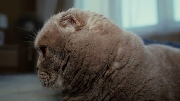 scotitish skládání šedá kočka