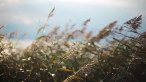 Travní uši koktejly z větru. Letní pobřeží na pozadí. Přibližte to. Zblízka
