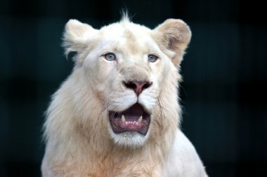white lion with wide open mouth