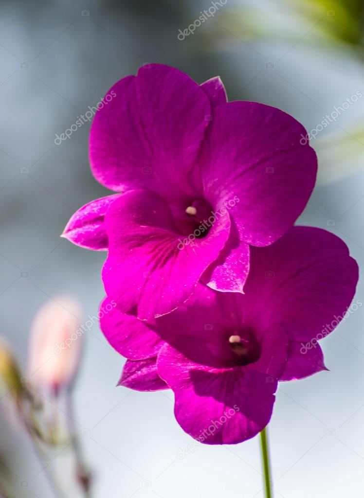 purple orchid flowers with blue background