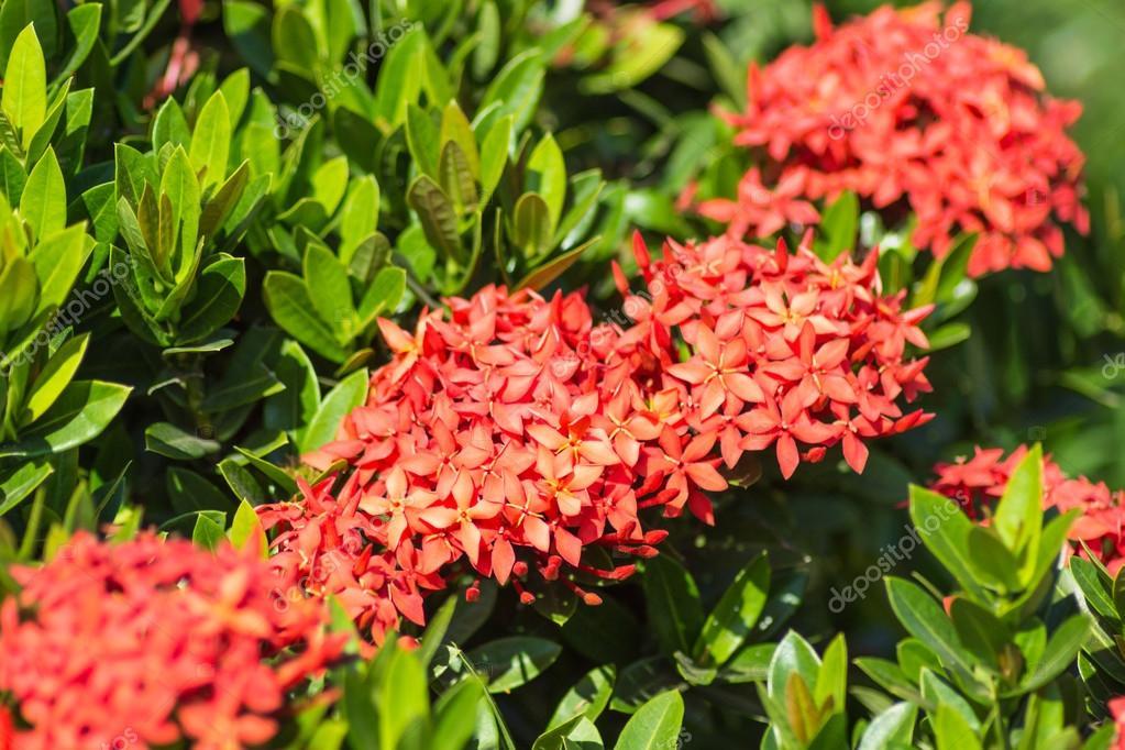 arbusto tropicale con i fiori rossi foto stock