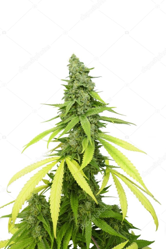 Tall Marijuana Bud on Grown Cannabis Plant Isolated by White Background